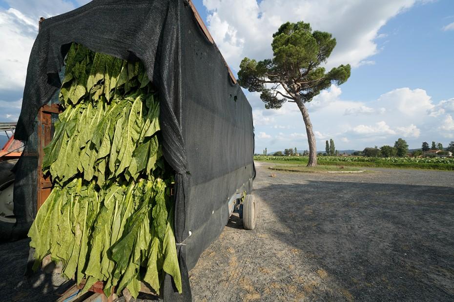 Harvesting tobacco leaves,Tobacco plantations, Anghiari, Val Tiberina, Tuscany, Italy